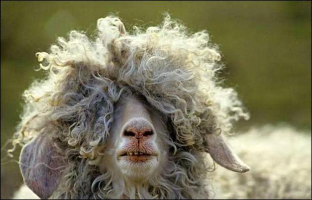 ovelha
