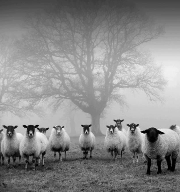 ovelhas1