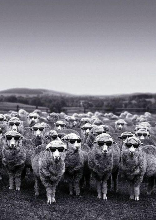 ovelhas2