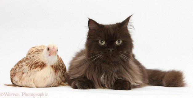 Chocolate cat, Chanel, with a bantam chicken
